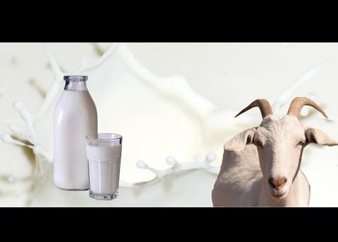 Manfaat Minum Susu Kambing Bagi Kesehatan