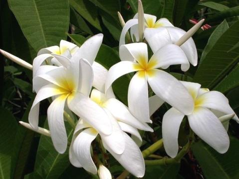 Manfaat Kandungan Bunga Cempaka Untuk Kesehatan